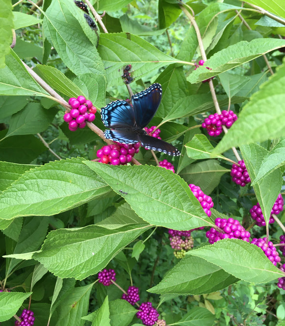 Beauty Berry (Callicarpa americana)