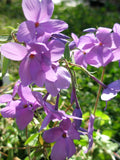 Phlox, Creeping 'Sherwood Purple' (Phlox stolonifera)