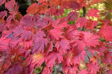 Maple,   Acer japonicum    'Aconitifolium' (Full Moon Maple)