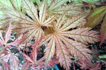 Maple, Acer palmatum 'Ariadne'