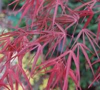 Maple, Acer palmatum 'atrolineare' (Ribbon-Leaf Japanese Maple)