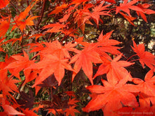 Maple, Acer palmatum 'Boskoop glory'