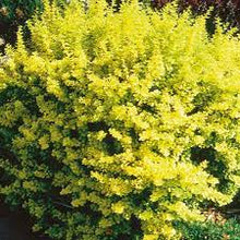 Berberis Dwarf Golden