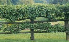 Apple, Espaliered