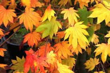 Maple, Acer palmatum 'Ever Autumn'