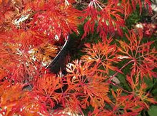Maple, acer japonicum 'Fairy Lights'
