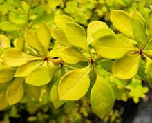 Berberis, Golden Sun