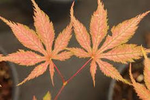 Maple, Acer palmatum 'Grandma Ghost'