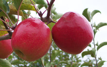 Apple, Early Pink Lady (Maslin)(semi-dwarf)