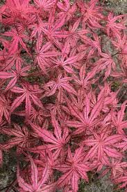 Maple, Acer palmatum 'Olsen's Frosted Strawberry'