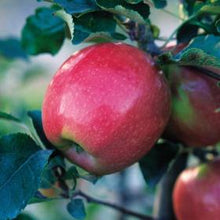 Apple, Pink Lady (dwarf and semi-dwarf)