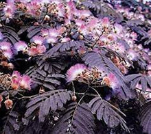 Albizia, 'Summer Chocolate'