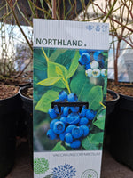 "Blueberry - ""Northland"""