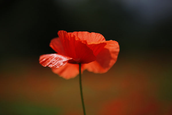 Orange poppy - image by Jenny Downing