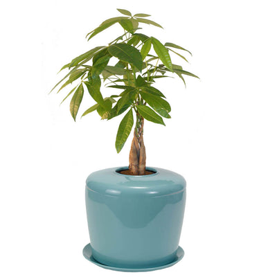 Memorial Ash Planting System with Live Bonsai Tree - Blue