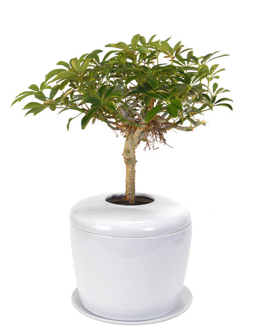 Memorial Ash Planting System with Live Bonsai Tree - White