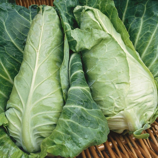 Summer Cabbage
