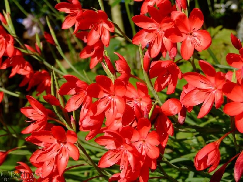 Schizostylis Major