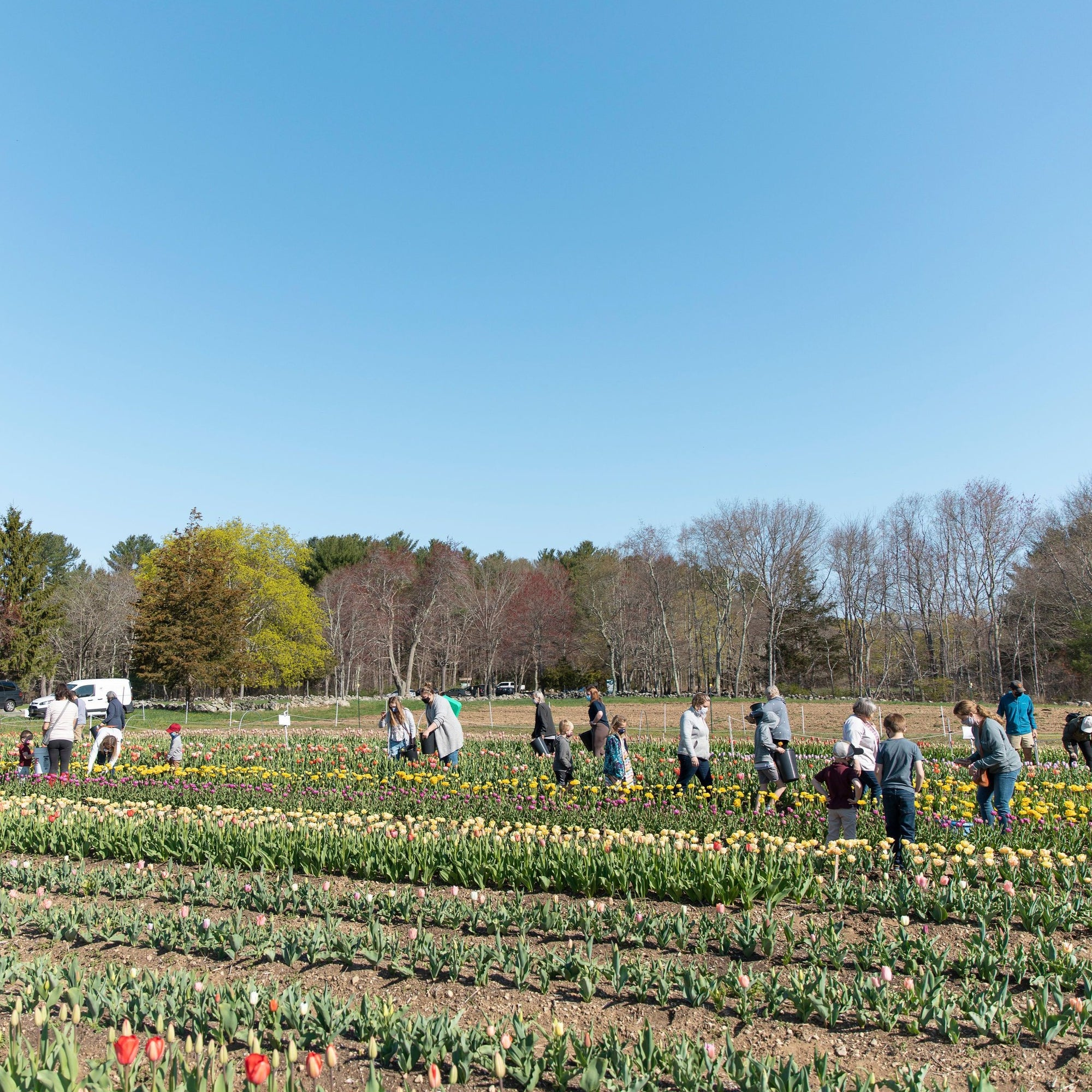 Pick Your Own Tulips - Saturday, May 1st