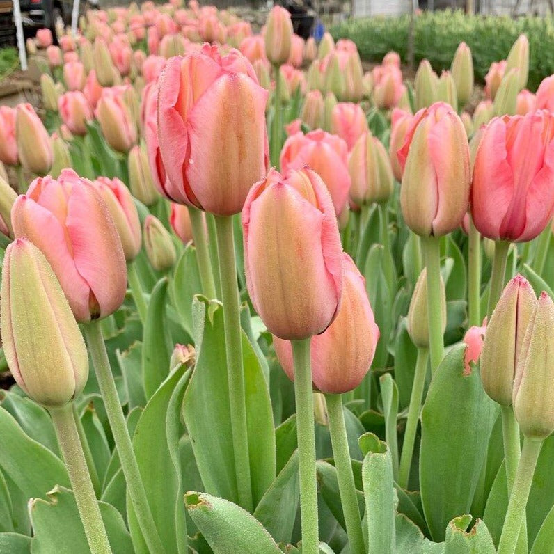 Impression Mix Tulip