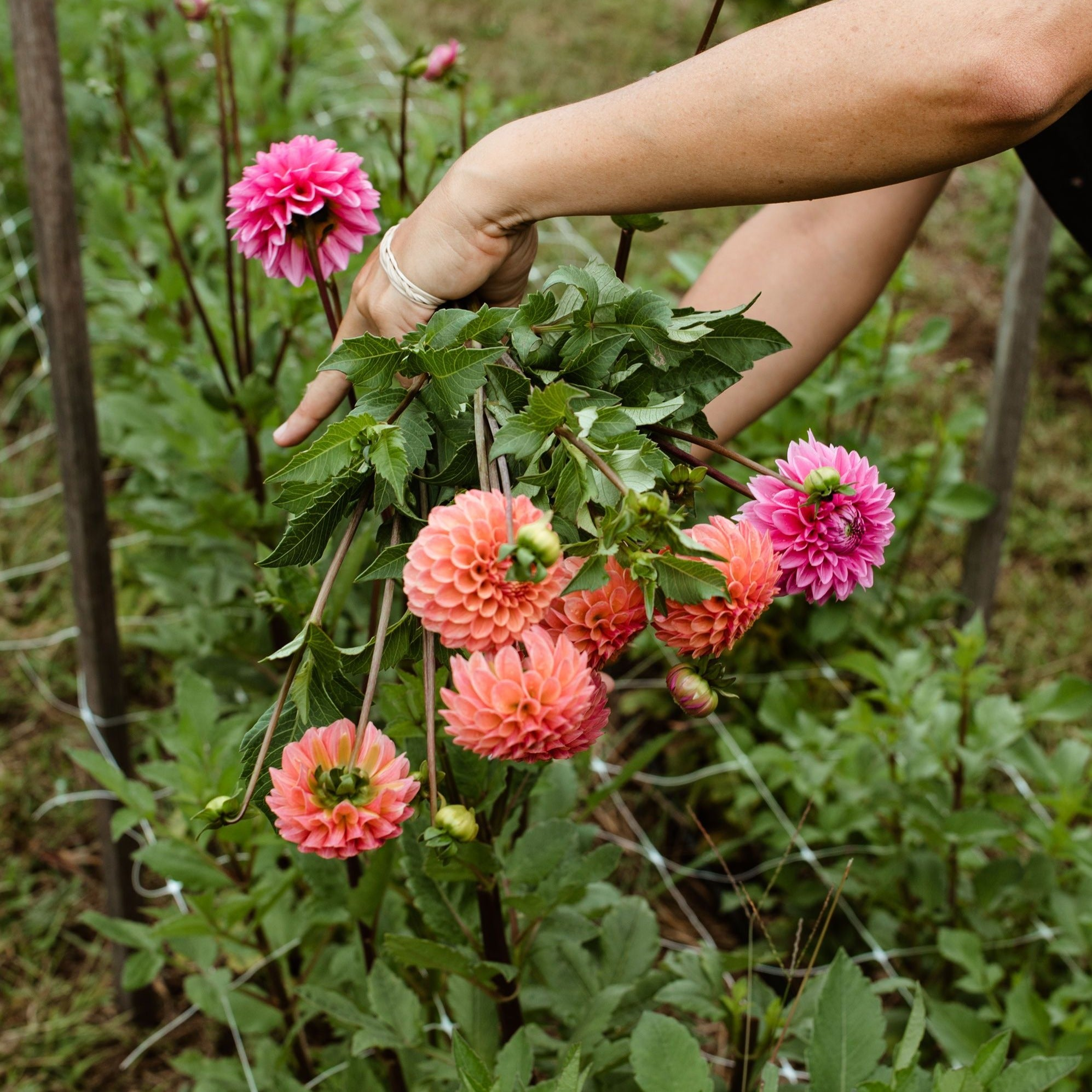 GYO Workshop Part 2: Grow Your Own Dahlias