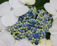 What's a lacecap hydrangea? What's a mophead?
