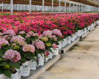 Several hundred Proven Winners hydrangeas await Mother's Day sales in a greenhouse.