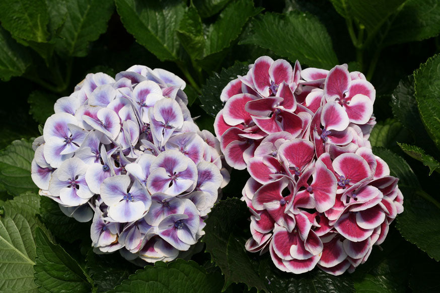 Two different color blooms of Hydrangea macrophylla Cityline Mars