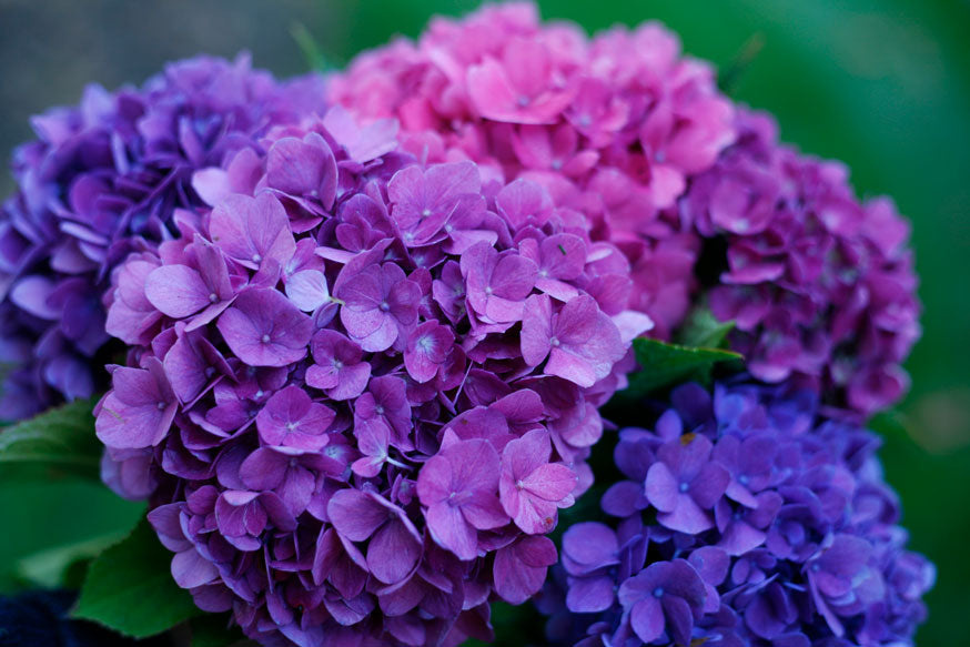 Pink, purple, and blue hydrangea blooms