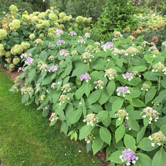 Blue Bunny bracted hydrangea is the most disease resistant hydrangea.