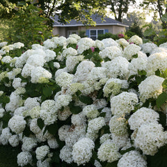 Incrediball is a type of smooth hydrangea, which is the most commonly eaten by deer.