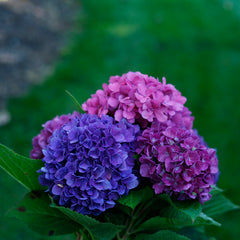 Blue and purple hydrangea flowers against a backdrop of green lawn.