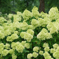 Little Lime panicle hydrangea is an example of a hydrangea that is frequently eaten by deer.