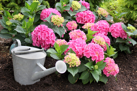 A bigleaf hydrangea with pink flowers and a galvanized steel watering can next to it.