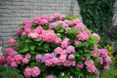 A large bigleaf hydrangea with pink and purple flowers blooming in front of a white brick home.