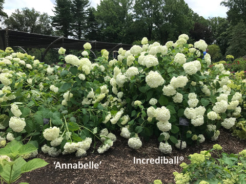 Annabelle and Incrediball hydrangea planted side by side with the Annabelle hydrangea flopping over considerably.