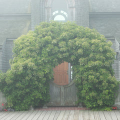 Climbing hydrangea can easily cover a structure like this large wooden arch.