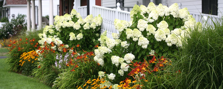 Hydrangeas in Landscaping Around a Home