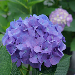 A typical mophead inflorescence on Let's Dance Big Band hydrangea.