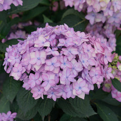 Let's Dance Can Do hydrangea boasts pink purple flowers and dark green foliage.