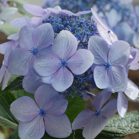 A lacecap hydrangea showing several large, showy sterile florets.