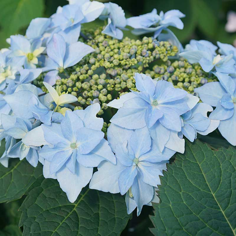 Tuff Stuff Ah Ha Mountain Hydrangea has blue or pink blooms depending on ph