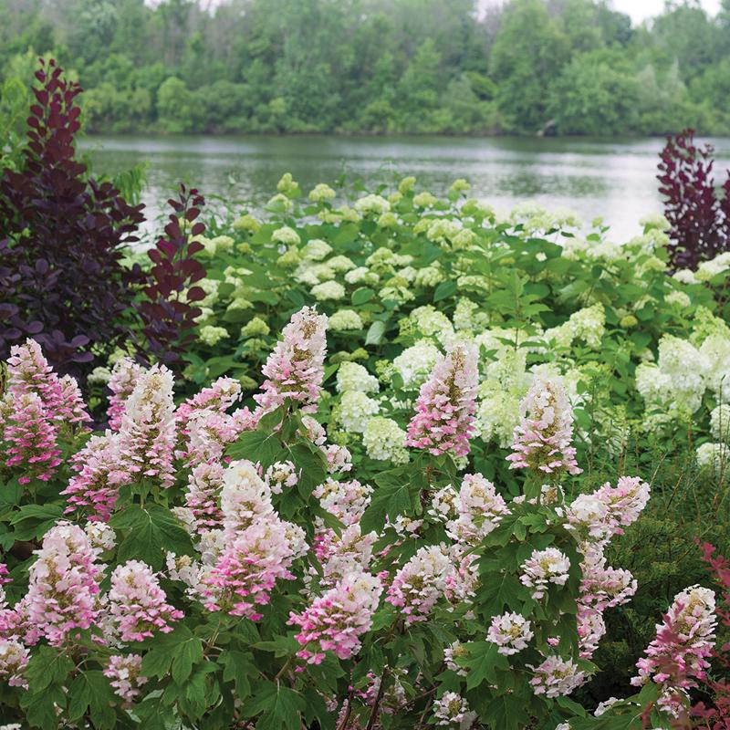 Gatsby Pink Oakleaf Hydrangea has large white flowers that turn vivid pink