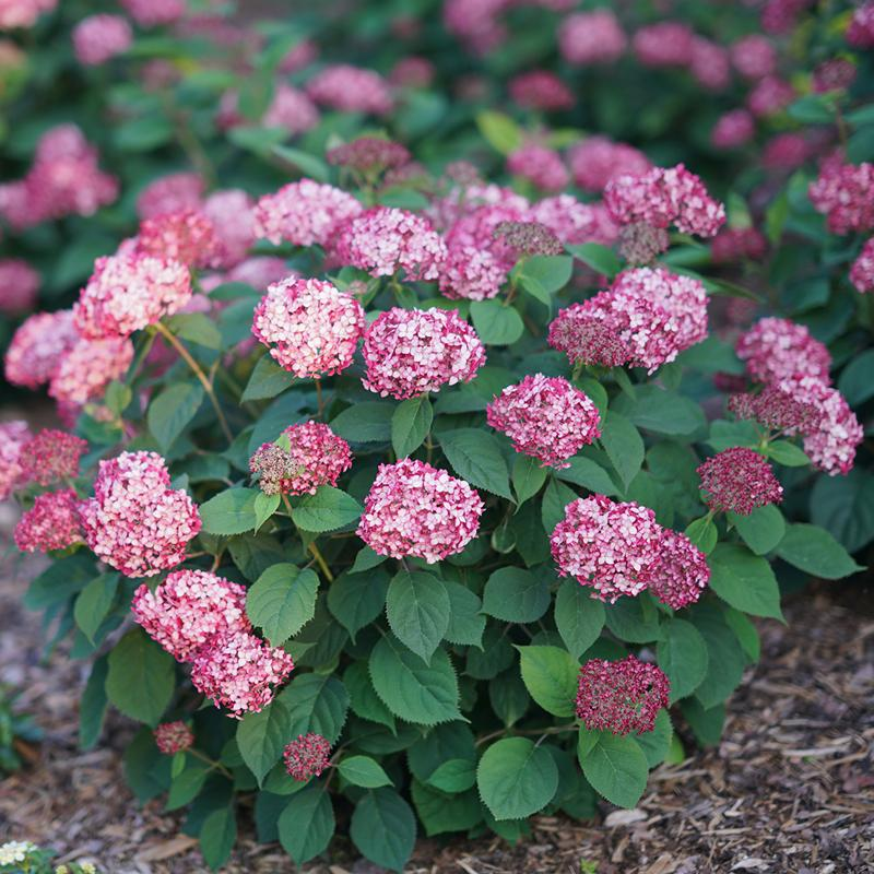 Invincibelle Ruby Smooth Hydrangea has gem like ruby colored blooms