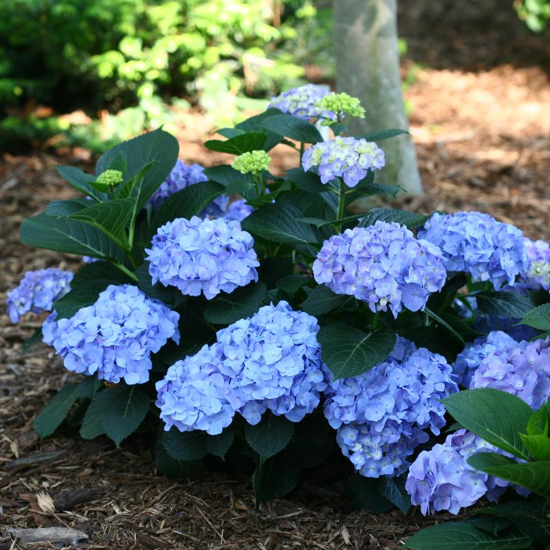 Let's Dance® Blue Jangles® Bigleaf Hydrangea will bloom blue or pink depending on the soil.