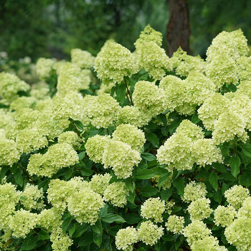 Little Lime® Panicle Hydrangea is a dwarf version of Limelight with big green blooms in summer.