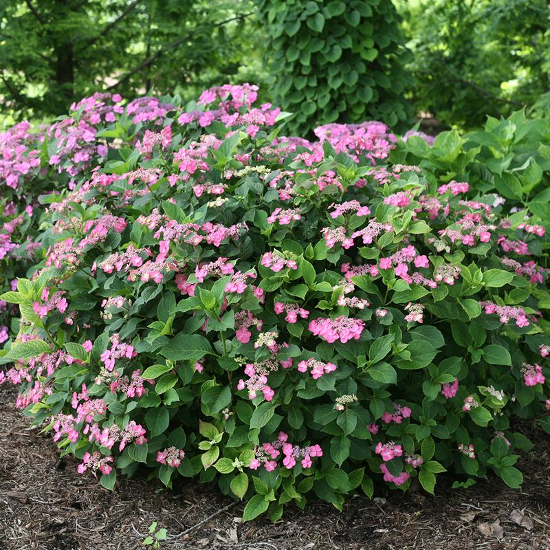 Tuff Stuff Red Mountain Hydrangea has flowers with a deep pink red color