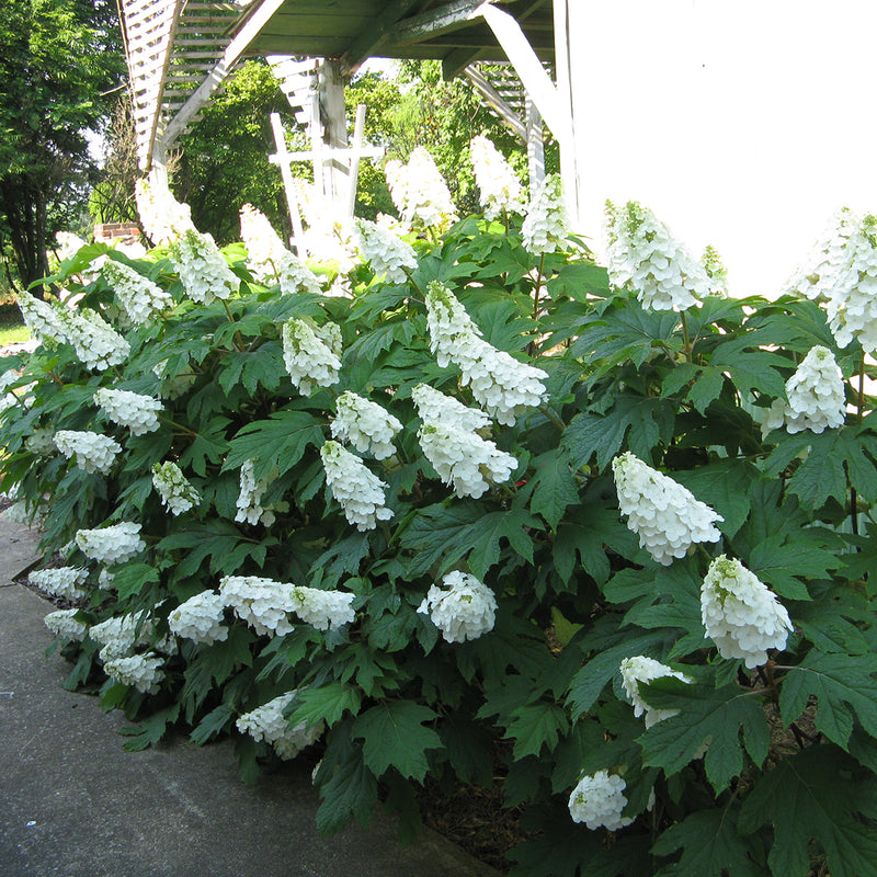 Gatsby Gal oakleaf hydrangea planted next to a building and covered in large white cone-shaped blooms.