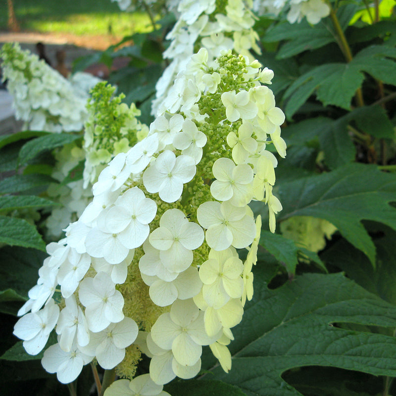 Closeup look at the flower of Gatsby Gal oakleaf hydrangea, the bursts of fertile florets can clearly be seen beneath the sterile ones.