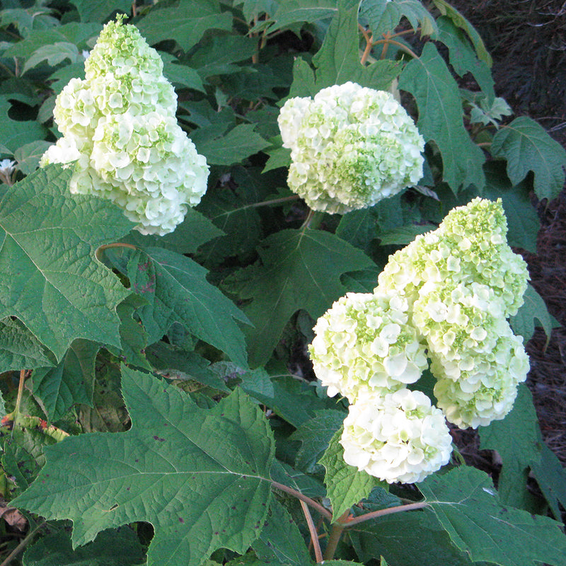 A downward view of the big, full, mophead blooms of Gatsby Moon oakleaf hydrangea.